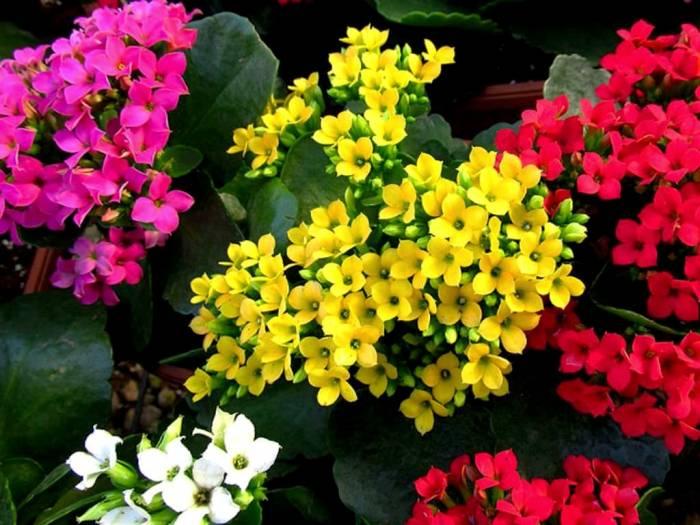 أنواع الزهور كالانكوفا