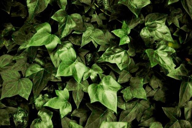 رعاية نبات اللبلاب