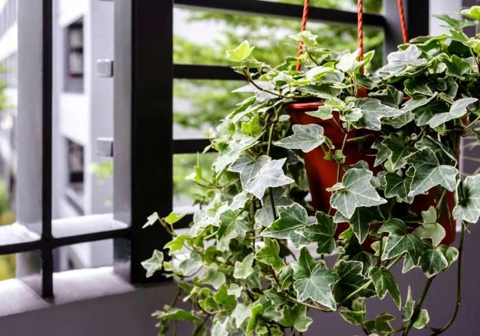 اللبلاب الصعود النبات
