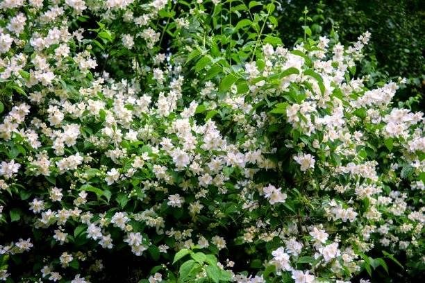 زرع الورود أرجواني