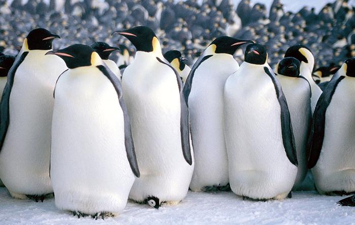 و-مسيرة-من بين طيور البطريق