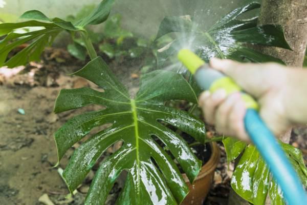الإفراط في سقي النبات