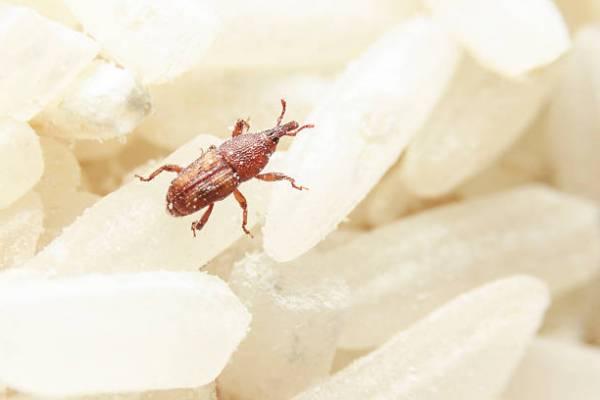 ما هي حشرة الأرز وما هي أسرع طريقة للتخلص من