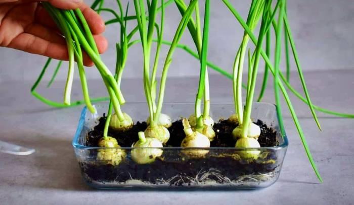 خطوات زراعة البصل