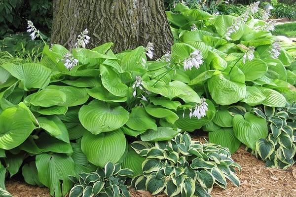 نبات هوستا