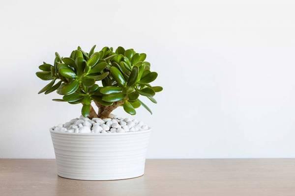 نبات اليشم
