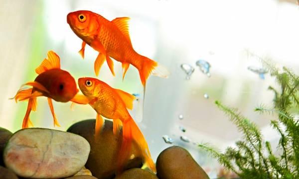 درجة حرارة ماء السمكة الذهبية