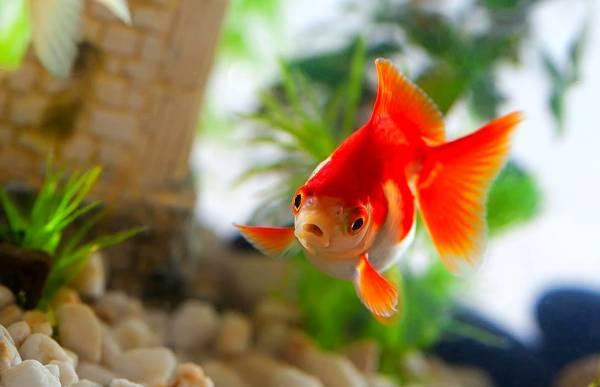 دليل شراء السمكة الذهبية
