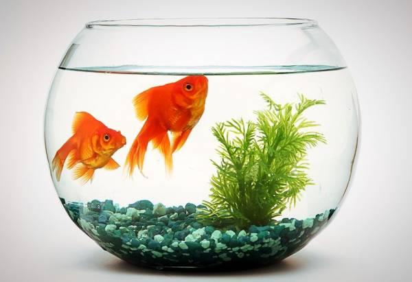تانغ السمكة الحمراء للعيد
