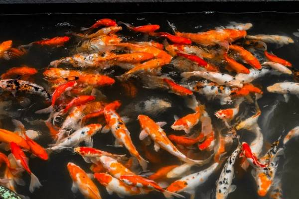 طعام السمك الذهبي