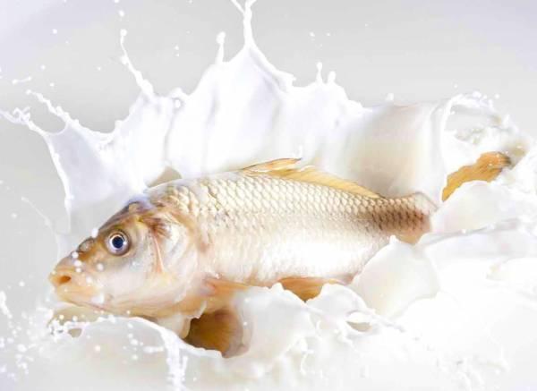 القضاء على الرائحة الكريهة للأسماك بالحليب