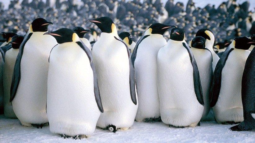 موكب من طيور البطريق