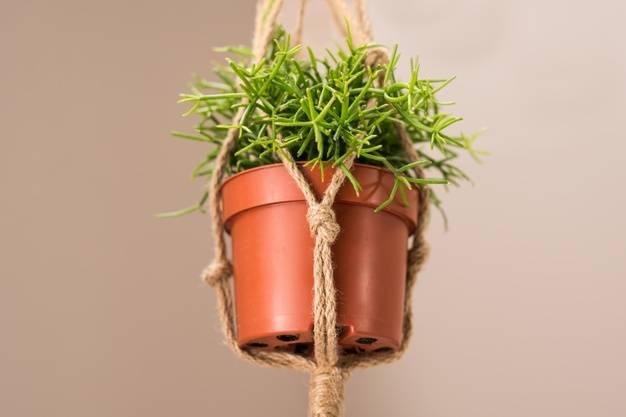 نباتات معلقة