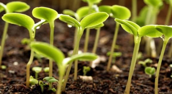 زرع الخس في القدور