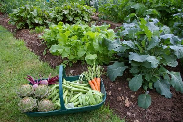 رعاية الخضروات