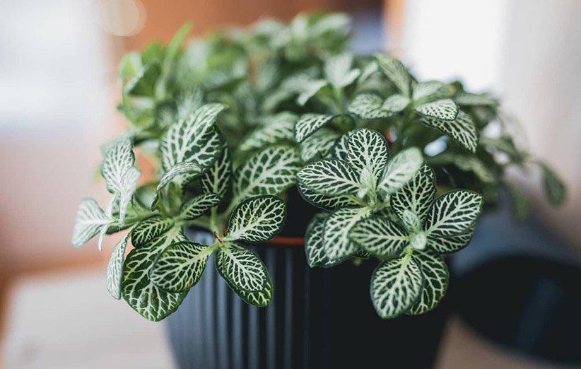 فيتونيا.  النباتات المنزلية المحبة للرطوبة