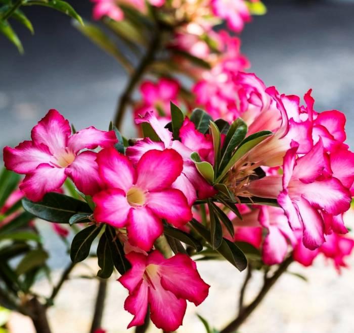 وردة الصحراء