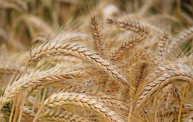 القمح للعام الجديد الخضر