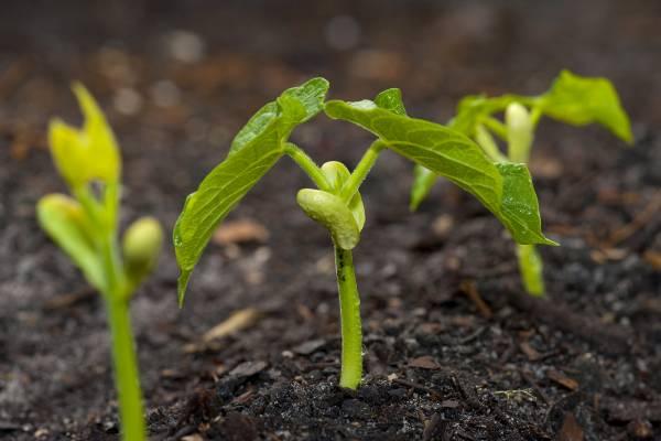 فاصوليا خضراء