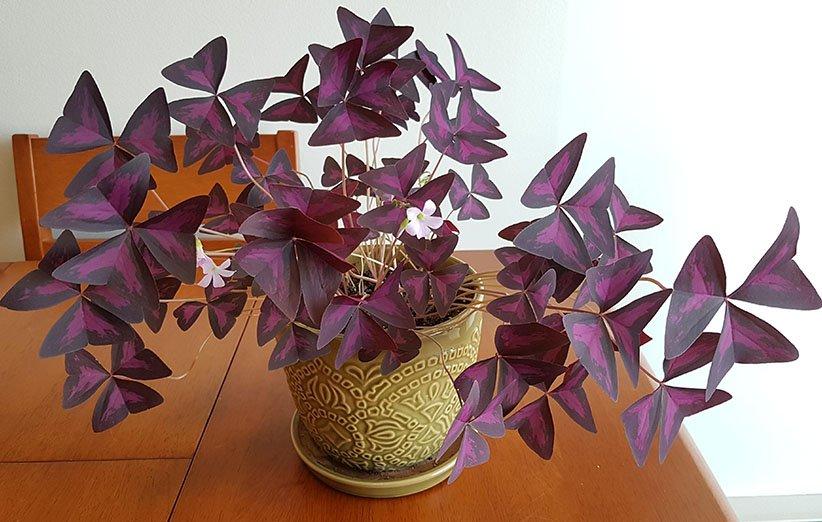أكساليس من أجمل أزهار الشقق