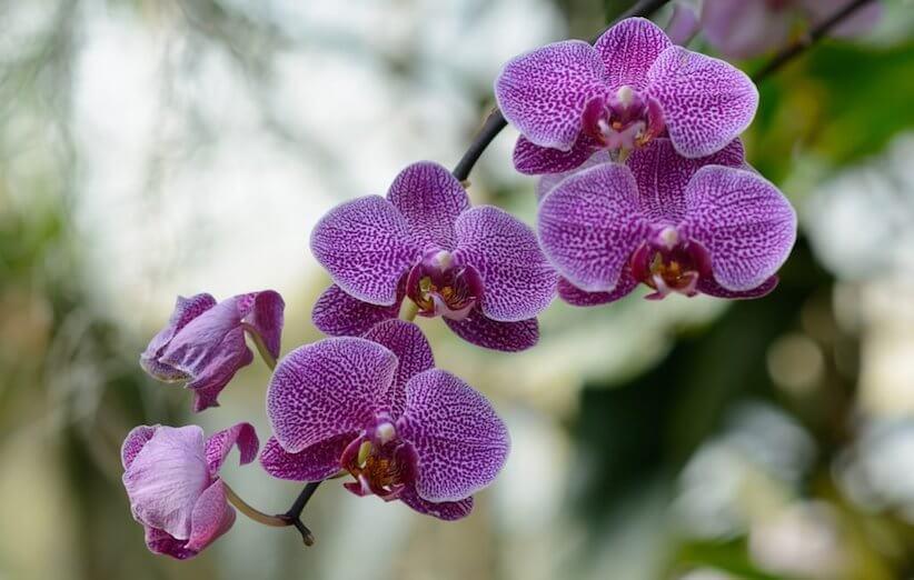 الحيوانات الأليفة - زهور الأوركيد