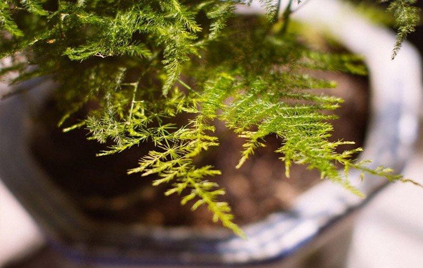 نبات الهليون