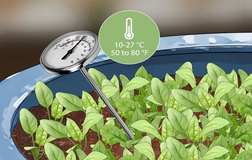 المرحلة الثانية من زراعة السبانخ: زرع البذور