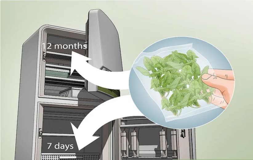 المرحلة الثالثة من زراعة السبانخ: الحصاد